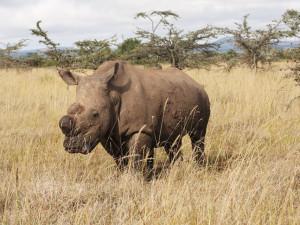 V Keni uhynul poslední samec nosorožce severního bílého