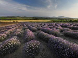 Utrhněte si svou voňavou rostlinku! Unikátní levandulová farma nabízí možnost samosběru