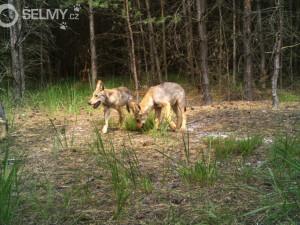 Vlčí a Rysí hlídky pomáhají šelmám vrátit se do Čech