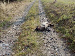 Zabité ovce, zapálená sláma a nečinnost policie, stěžuje si majitel statku v Dolní Oldříši