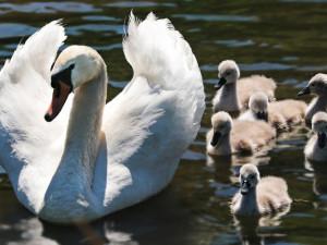 Mládě labutě přišlo o křídlo, protože ho lidé krmili pečivem