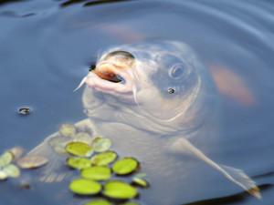 Spotřeba ryb se loni zvýšila, kapr je stále oblíbený