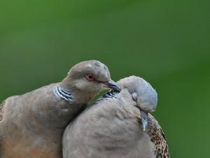 Ptákem pro rok 2019 je hrdlička, symbol lásky a změn v životním prostředí