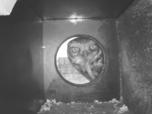 Nahlédněte sýčkovi do ložnice. Nové kamery sledují hnízdění ohrožené sovy