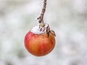 Mrazy způsobily ovocnářům škody za desítky milionů korun