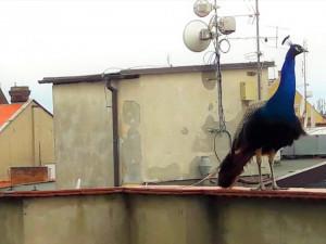 Na střechách domů v Olomouci se pohybuje páv. Strážníky kvůli němu volat nemusíte.
