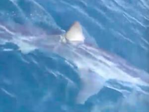 Nebezpečný žralok mako se objevil na Makarské. Natočil ho německý turista.