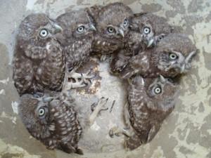 Historický úspěch. Sedm sýčků v jednom hnízdě.