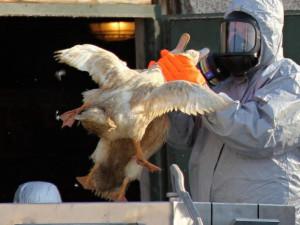 Veterináři varují před rizikem přenosu ptačí chřipky z Polska