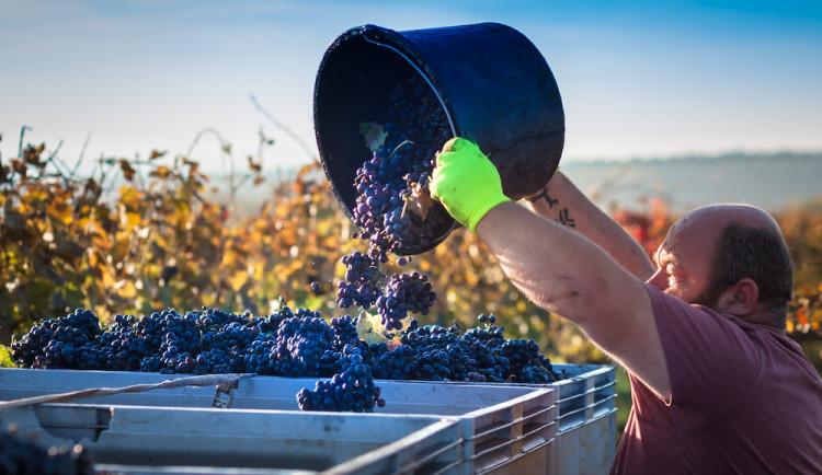 Jak se daří vinařům v krizi? Neexistuje nikdo, koho by se situace nedotkla, říká manažer úspěšného vinařství